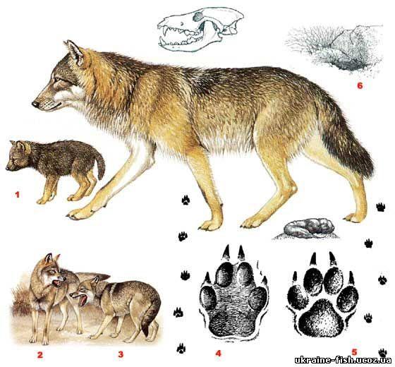 Волк - Canis lupus