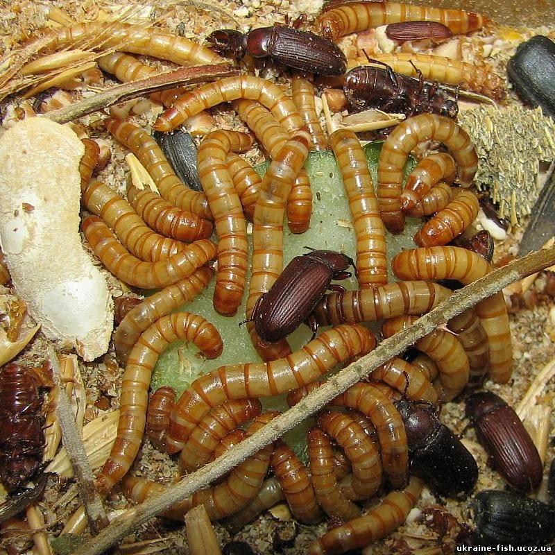 Мучные черви в домашних условиях